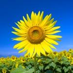 元気に咲くひまわり。自然治癒力の象徴。