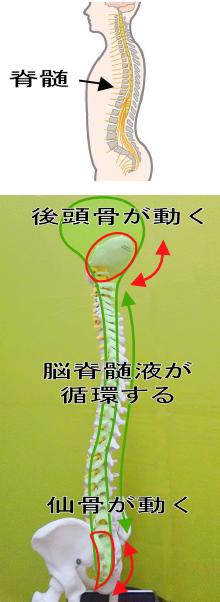 根本原因1.後頭骨と仙骨の動きが弱まり、脳脊髄液の循環が滞る