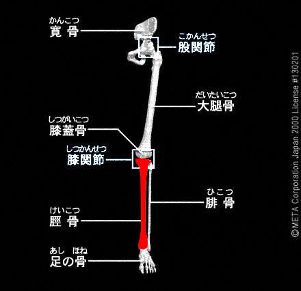 足の骨(脛骨と腓骨)