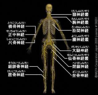脳・脊髄を起点として、末梢神経が体全身に伸びる