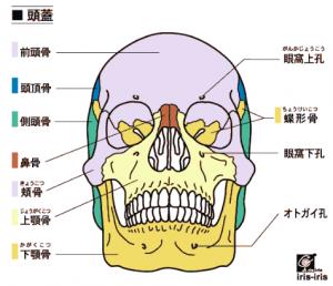 頭蓋骨(正面)