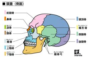 頭蓋骨(横)