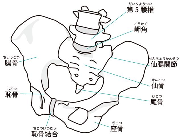 骨盤の仙腸関節と恥骨結合
