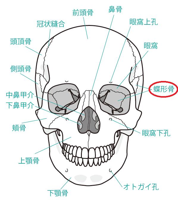 頭蓋骨と蝶形骨の位置