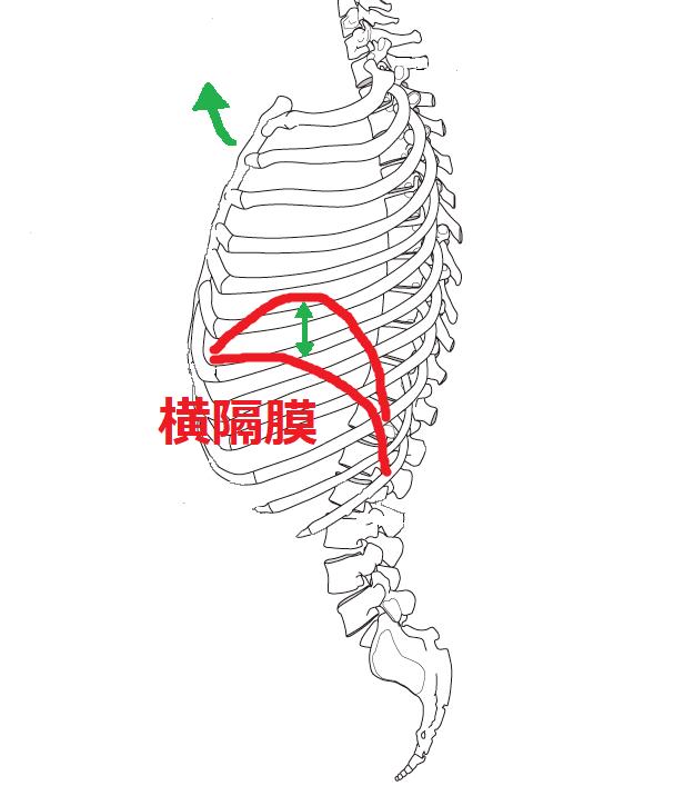肋骨と横隔膜の動き