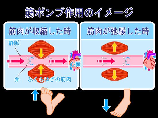 筋ポンプ作用