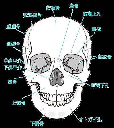 頭蓋骨を正面から見た図