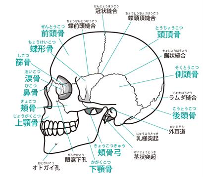 頭蓋骨の横から見た図